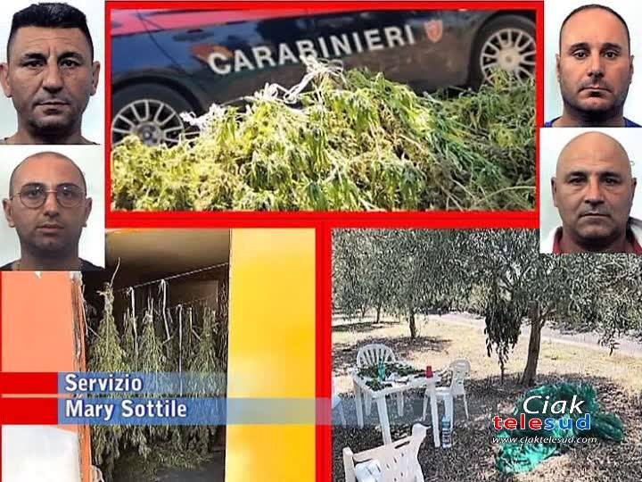 4 ARRESTI E 70 CHILI DI MARIJUANA SEQUESTRATA